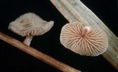 Деконика Филлипса (Deconica philipsii)