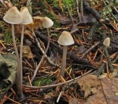 Мицена нитконогая (Mycena filopes)
