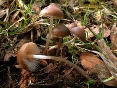 Мицена шишколюбивая (Mycena strobilicola)