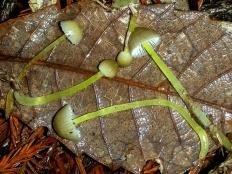 Мицена слизистая (Мицена лимонно-желтая) (Mycena epipterygia)