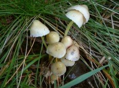 Мицена слизистая (Mycena epipterygia)