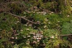 Мицена зефировая (Mycena zephirus)