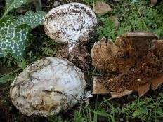 Миценаструм кожистый (Mycenastrum corium)