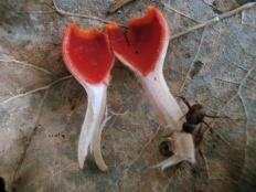 Микростома вытянутая (Microstoma protractum)
