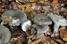Млечник липкий (Lactarius blennius)