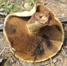 Моховик лиственничный (Psiloboletinus lariceti)
