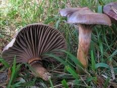 Мокруха пурпурная (Chroogomphus rutilus)