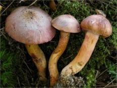 Мокруха пурпуровая (Chroogomphus rutilus)