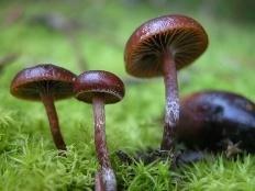 Псилоцибе горная (Deconica montana)