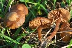 Псилоцибе Монтана (Deconica montana)