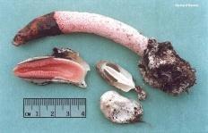 Мутинус Равенелли (Mutinus ravenelii)
