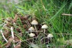 Навозная лысина (Deconica merdaria)