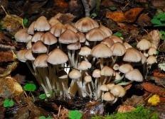 Навозник мерцающий (Coprinellus micaceus)
