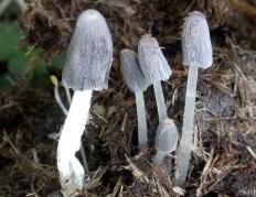 Навозник обыкновенный (Coprinopsis cinerea)