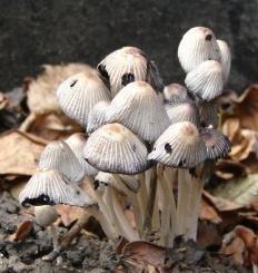 Навозник рассеянный (Coprinus disseminatus)
