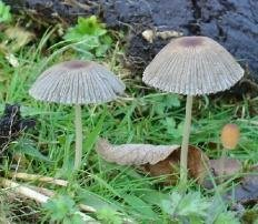 Навозник складчатый (Coprinus plicatilis)