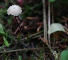 Негниючник нежнейший (Marasmius wettsteinii)