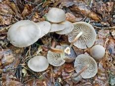 Негниючник шаровидный (Marasmius wynnei)
