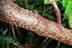 Нектрия киноварно-красная (Nectria cinnabarina)