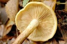 Огнёвка ольховая (Чешуйчатка ольховая) (Pholiota alnicola)
