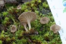 Омфалина зонтичная (Omphalina umbellifera)
