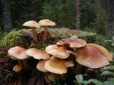 Опёнок маковый (Hypholoma capnoides)