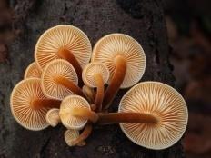 Опёнок зимний (Flammulina velutipes)