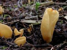 Ослиное ухо (Отидея ослиная) (Otidea onotica)