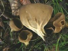 Лопастник бокальчатый (Helvella acetabulum)