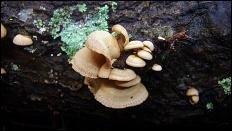 Панеллюс вяжущий (Panellus stipticus)