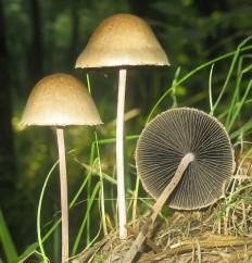 Панеолус колокольчатый (Panaeolus papilionaceus)