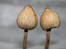 Панеолус мотыльковый (Panaeolus papilionaceus)