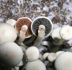 Панеолус синеющий (Panaeolus cyanescens)