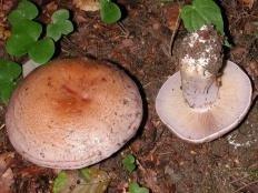 Паутинник дубравный (Cortinarius nemorensis)