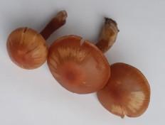 Паутинник олений (Cortinarius hinnuleus)