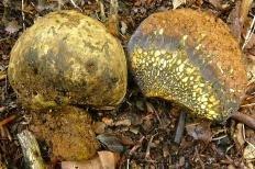 Пизолитус бескорневой (Pisolithus arhizus)