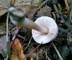 Плютей клубневой (Pluteus semibulbosus)