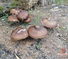 Олений гриб (Pluteus cervinus)