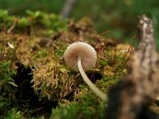 Плютей шероховатенький (Pluteus hispidulus)
