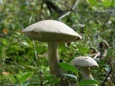 Подберезовик болотный (Leccinum holopus)