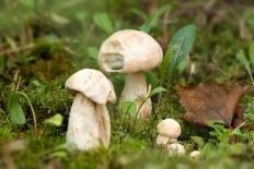 Подосиновик белый (Leccinum percandidum)