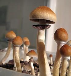 Псилоцибе кубенсис (Psilocybe cubensis)