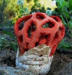 Решёточник красный (Clathrus ruber)
