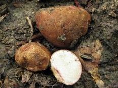 Трюфель обыкновенный (Rhizopogon vulgaris)