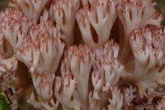 Рогатик гроздевой (Ramaria botrytis)