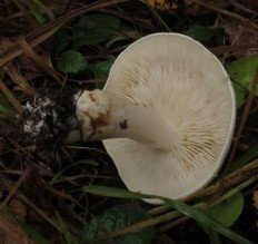 Рядовка частопластинковая (Tricholoma stiparophyllum)