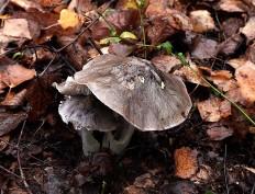 Рядовка Гульден (Tricholoma guldeniae)