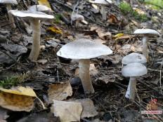 Рядовка опоясанная (Tricholoma cingulatum)