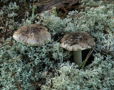 Рядовка серая (Мышата) (Tricholoma portentosum)