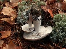 Рядовка сухая (Tricholoma sudum)